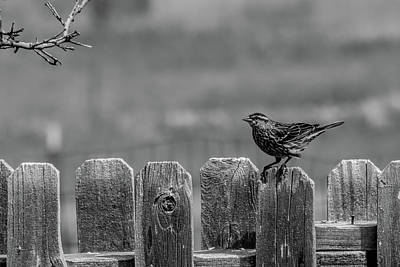 Photograph - Redwing Blackbird Hen Bw by Alana Thrower