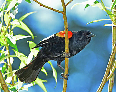 Photograph - Redwing Blackbird by Jack Moskovita