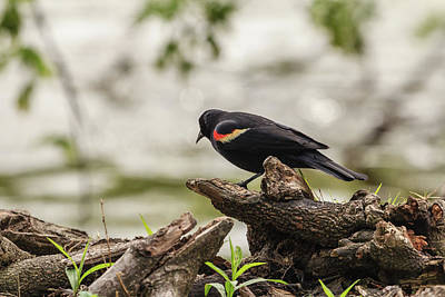 Photograph - Redwing Blackbird On The Lookout by Joni Eskridge