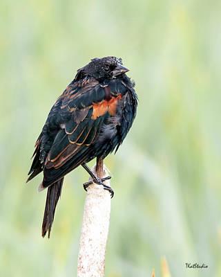 Photograph - Redwing Blackbird by Tim Kathka