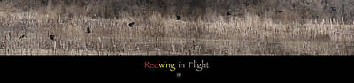 Photograph - Redwing In Flight by John Meader