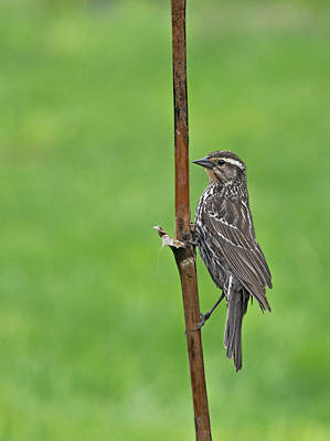 Photograph - Redwing by Jim Zablotny
