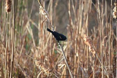 Photograph - Redwinged Blackbird At Dawn by Maria Urso