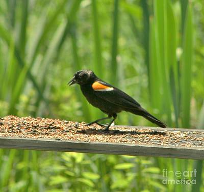 Photograph - Redwinged Blackbird by Barbara S Nickerson