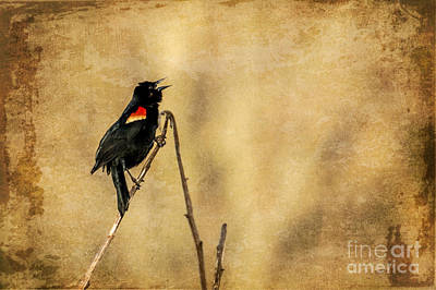 Photograph - Redwinged Blackbird by Eleanor Abramson