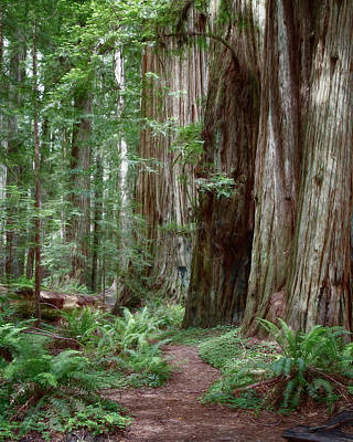 Photograph - Redwood Forest by Lana Trussell