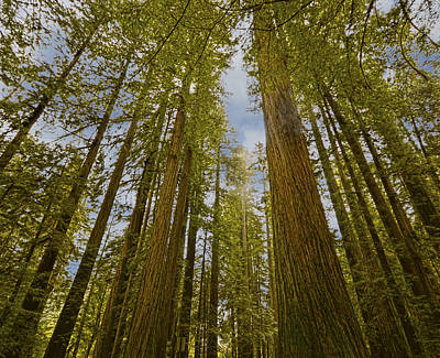 Photograph - Redwood Forest by Loree Johnson