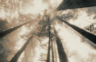 Redwood Forest, Northern California, Usa Print by Mel Curtis
