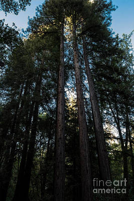Photograph - Redwood Glow by Suzanne Luft