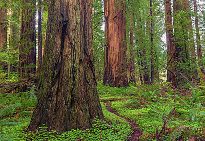 Photograph - Redwood Grove by Loree Johnson