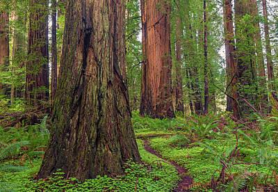 Photograph - Redwood Grove by Loree Johnson