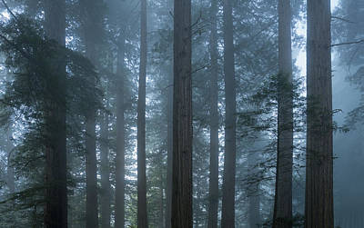 Redwood Mist Print by Steve Gadomski