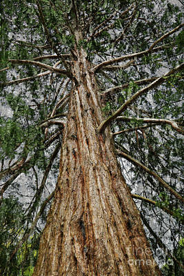 Photograph - Redwood Reaches For The Sky by Nareeta Martin