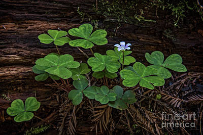 Photograph - Redwood Sorrel by Charles Dobbs