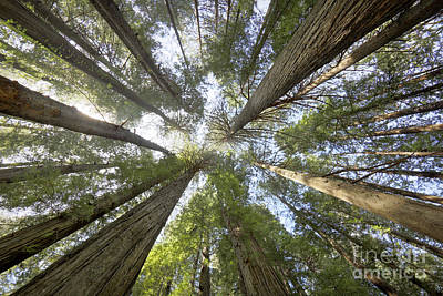 Photograph - Redwood Towering Giants by Martin Konopacki
