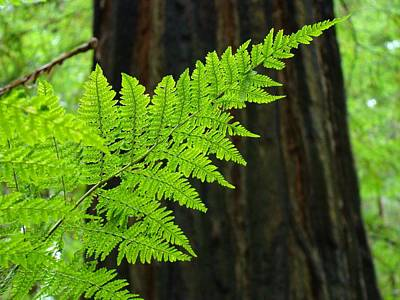 Redwood Tree Forest Ferns Art Prints Giclee Baslee Troutman Art Print