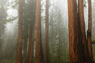 Photograph - Redwood Trees In Fog by Ben Graham