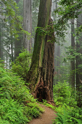 Photograph - Redwood With Hobbit Hole by Greg Nyquist