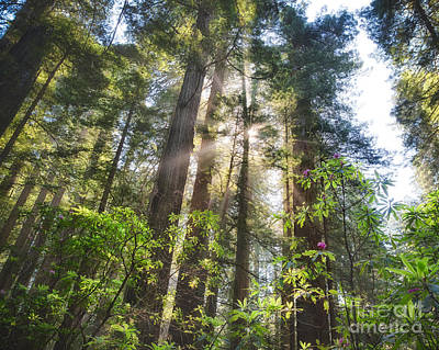 Photograph - Redwoods And Rhododendrons by Anthony Bonafede