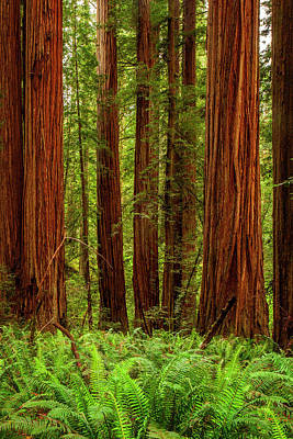Photograph - Redwoods by Andrew Soundarajan