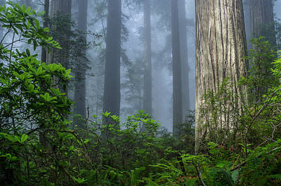 Redwoods In Blue Fog Art Print