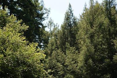 Photograph - Redwoods In My Backyard by Ben Upham III