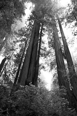 Redwoods In The Fog Art Print by Loree Johnson