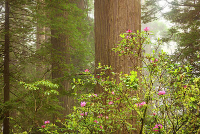 Photograph - Redwoods In The Mist by Andrew Soundarajan