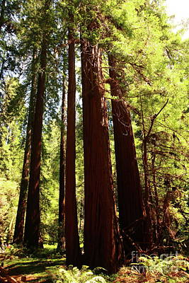 Photograph - Redwoods In The Muir Woods by Christiane Schulze Art And Photography