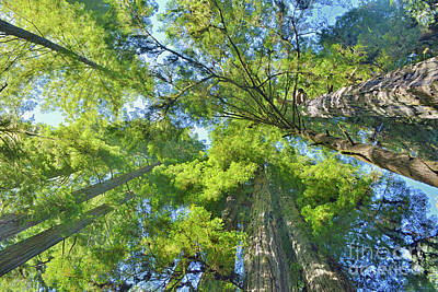 Photograph - Redwoods Look Up by Third Eye Perspectives Photographic Fine Art