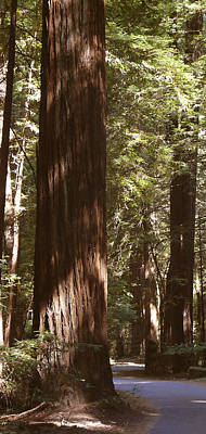 Redwoods Print by Mike McGlothlen