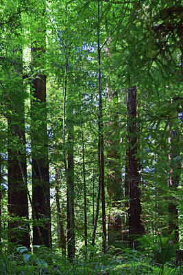 Photograph - Redwoods No. 3-1 by Sandy Taylor
