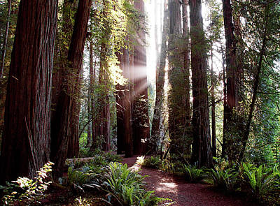 Photograph - Redwoods Rays by Thomas Bomstad