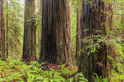 Photograph - Redwoods Three by Loree Johnson