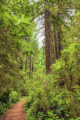 Photograph - Redwoods Trail by John M Bailey