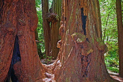 Photograph - Redwoods With Burls In Muir Woods National Monument, California by Ruth Hager