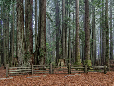 Photograph - Redwoods With Fog Background by Greg Nyquist