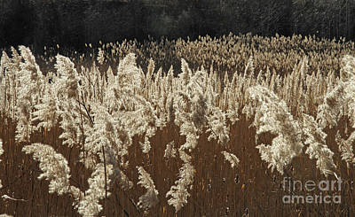Photograph - Reed Grass In Wisconsin Marsh by Kevin McCarthy