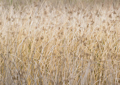 Photograph - Reed In The Wind by Alexander Kunz