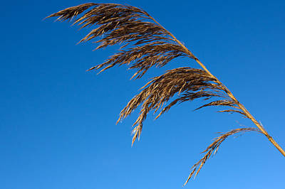 Photograph - Reed by Keith Elliott