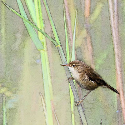 Warbler Mixed Media - Reed Warbler by Art By Jeronimo
