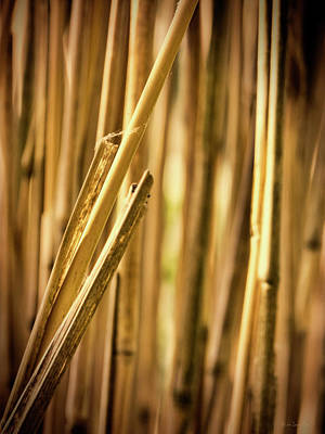 Bamboo Photograph - Reed by Wim Lanclus