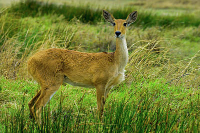 Photograph - Reedbuck In The Serengeti by Marilyn Burton