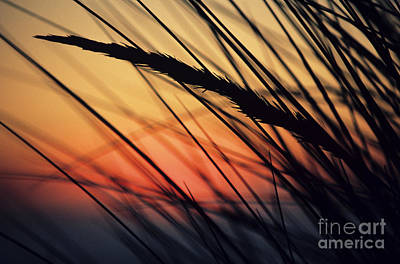 Reeds And Sunset Art Print by Brent Black - Printscapes