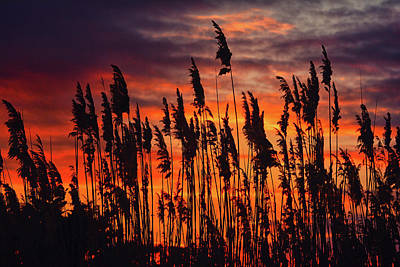 Photograph - Reeds At Sunset by Raymond Salani III