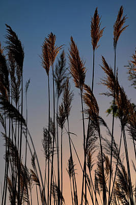 Photograph - Reeds At Sunset by Rick Berk