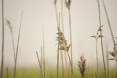 Photograph - Reeds In The Mist II by Marianne Campolongo
