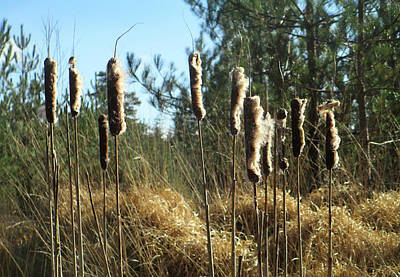 Reeds In The Wind Art Print