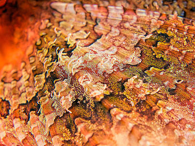 Reef Art - Scorpionfish Fin Art Print