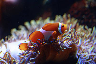 Clown Fish Photograph - Reef Life by Paul Slebodnick
